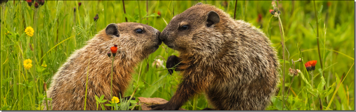 Ground hogs kissing