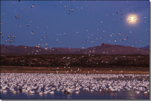 Moonset & snow geese