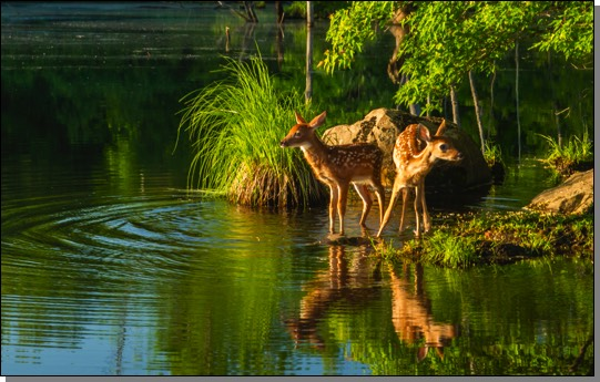 White-tailed deer fawns with reflection