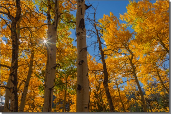 Sunstar and golden aspen trees